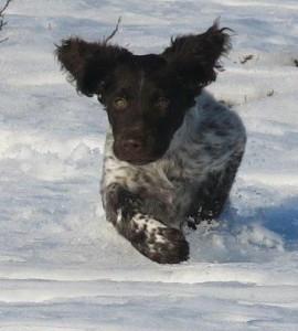 Tindra gillar snön